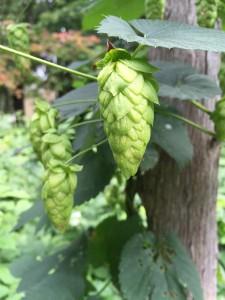 hops-936023_1280