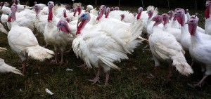 Pasture-raised turkeys at Polyface Farm. Photo by J.H. Fearless (Flickr).